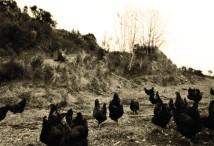 Nos poulets fermier